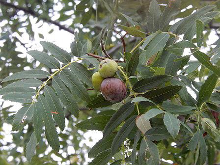 El silbo o jerbo (Prunus domestica) en León